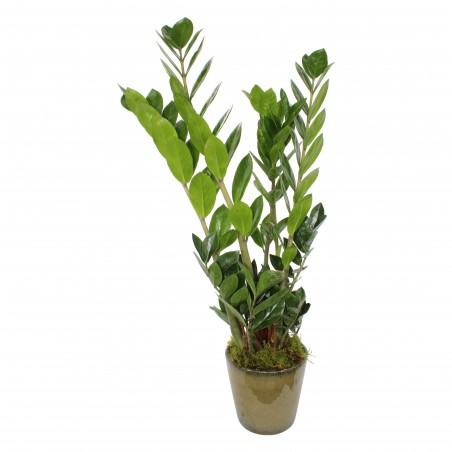 ZZ plant £49.99