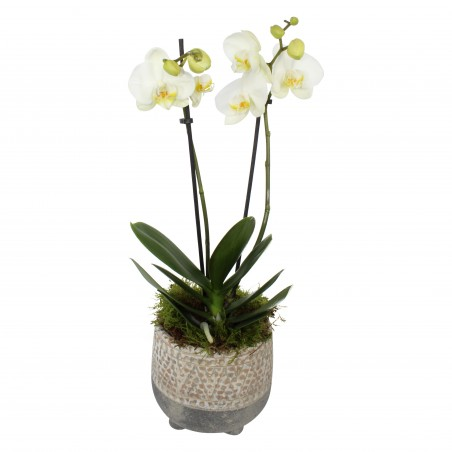 Doubled Stemmed White Orchid (30cm) £24.99