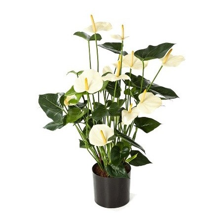 Anthurium de luxe Cream with pot £114.99