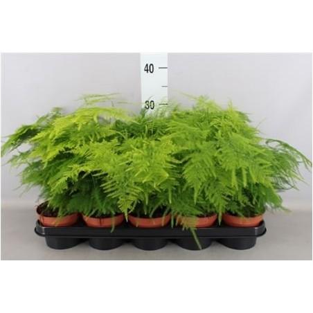 Asparagus Fern £37.99
