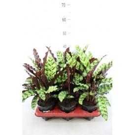 Rattlesnake Plant £28.99
