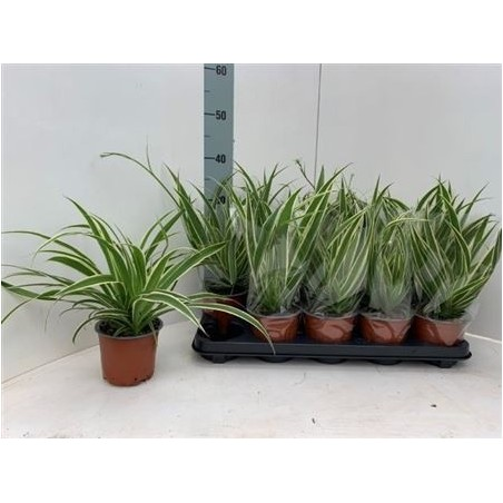 Spider Plant £22.99