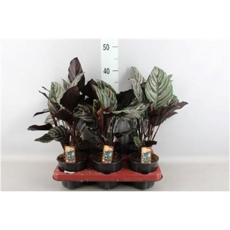 Calathea Sanderiana £23.99