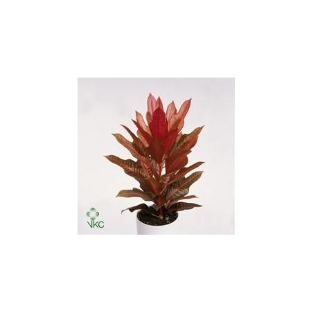 Garden Croton 'Nervia' £28.99