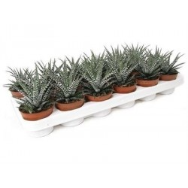 Zebra Plant £18.99