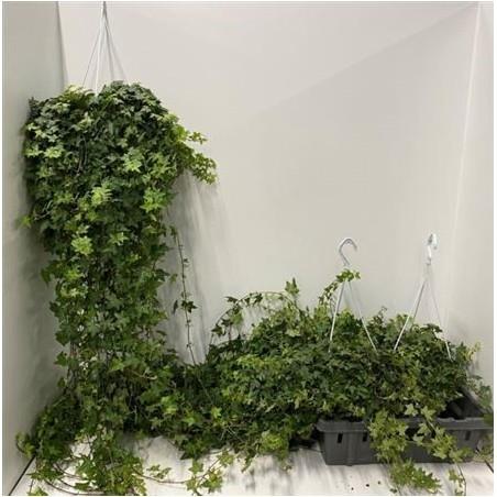Trailing Ivy £34.99