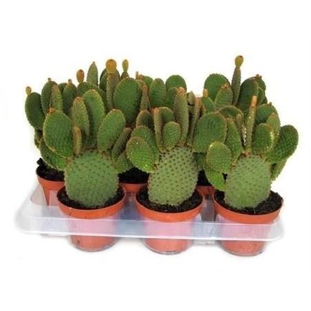 Bunny Ear Cactus £18.99