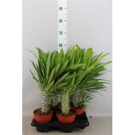 Madagascar Palm £22.99