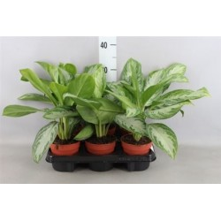 Chinese Evergreen £23.99