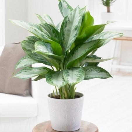 Chinese Evergreen £23.99