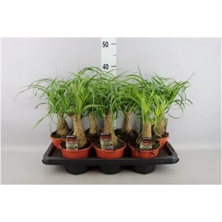 Ponytail Palm £26.99