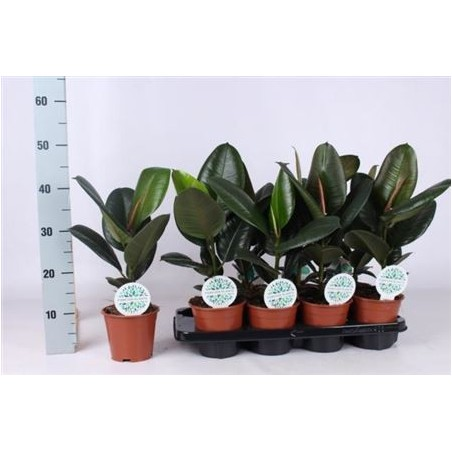 Rubber Plant £29.99