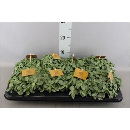 Fittonia Green £15.99