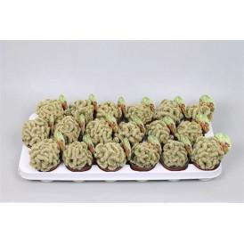 Brain Cactus £13.99