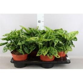Monstera Plant - Leichtlinii £33.99