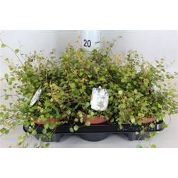 Maidenhair Vine £34.99
