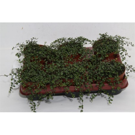 Maidenhair Vine £34.99