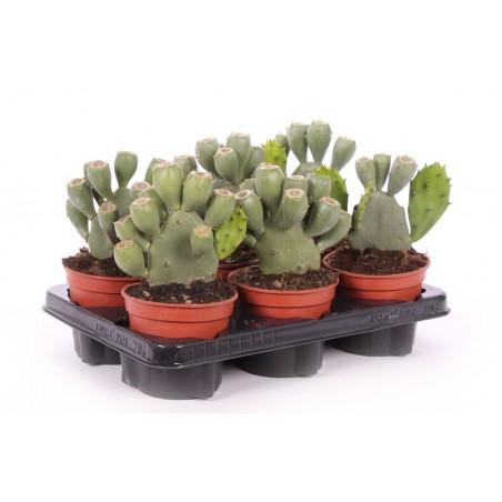 Prickly Pear Cactus £23.99