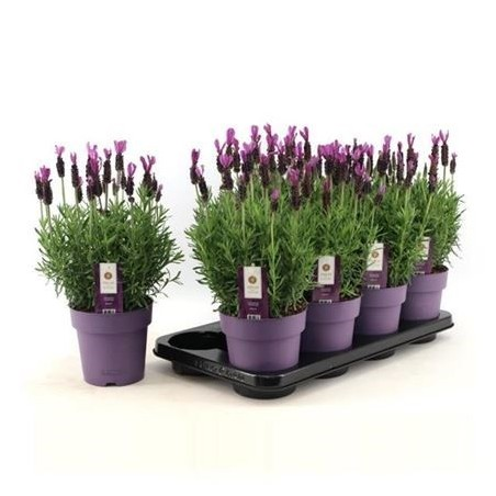 Lavender £22.99