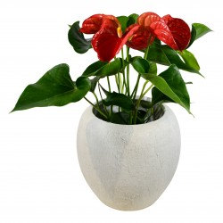 Anthurium (Red) £34.99