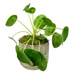 Chinese Money Plant £34.99