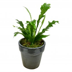 Bird's Nest Fern £25.99