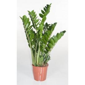 ZZ Plant £59.99