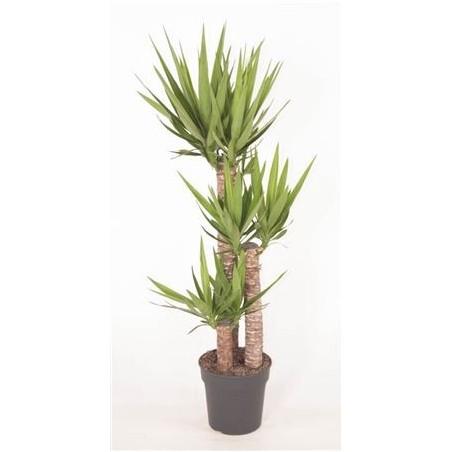 Yucca £100.00