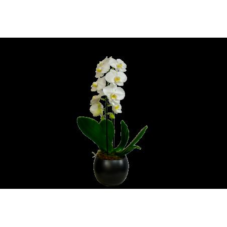 Phalaenopsis Orchid White £35.00