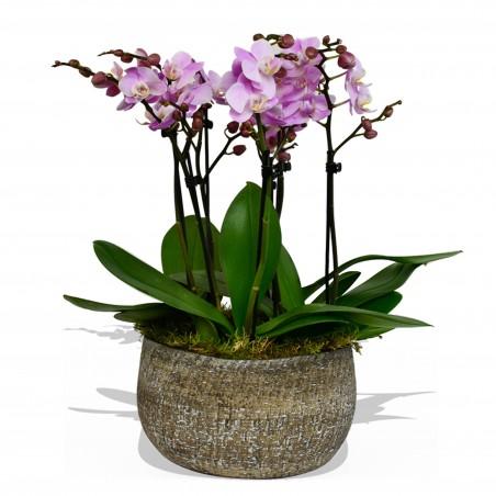 Phalaenopsis Orchid Pink £119.99