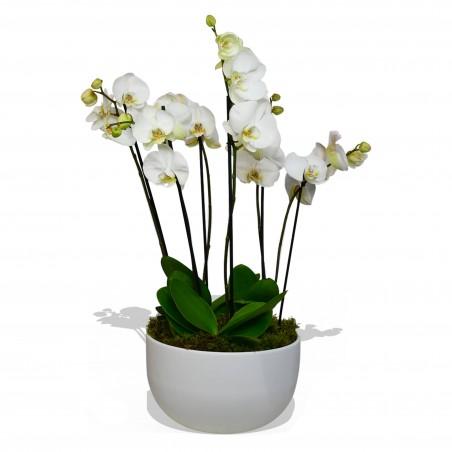 Phalaenopsis Orchid White £119.99