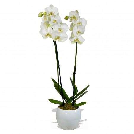Doubled Stemmed White Orchid (60cm) £24.99
