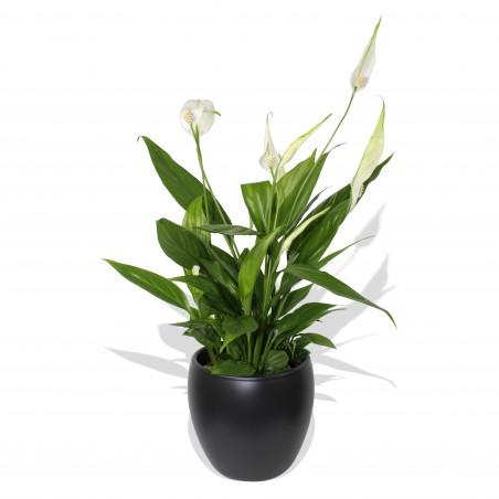 Premium Peace Lily £18.99