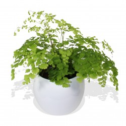 Maidenhair Fern £25.99