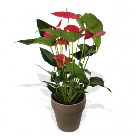 Red Anthurium £25.99