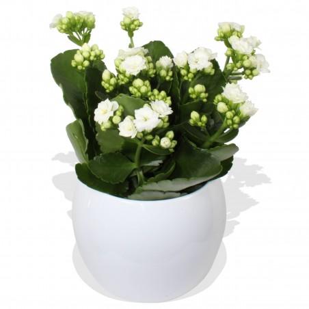 White Kalanchoe £14.99