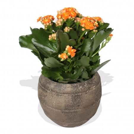 Orange Kalanchoe Plant £14.99