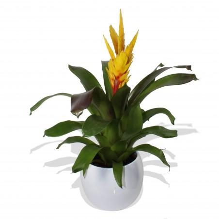 Yellow Bromelia £19.99