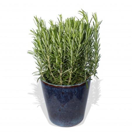 Thyme plant £14.99