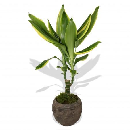 Dracaena Plant £19.99