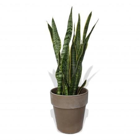 Snake Plant £22.99