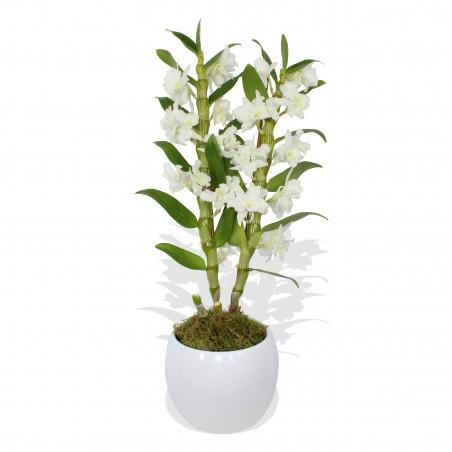 White Dendrobium £27.99