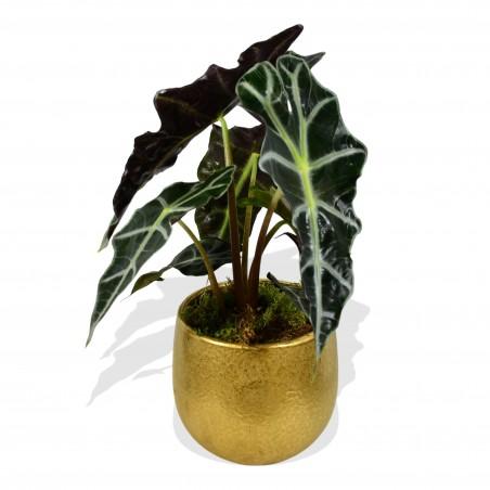 Alocasia Amazonica Polly £24.99