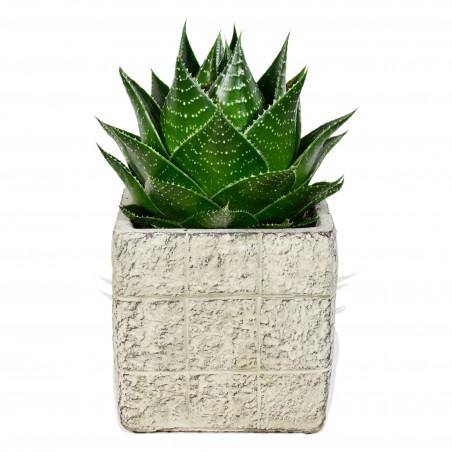 Aloe Cosmo £17.99