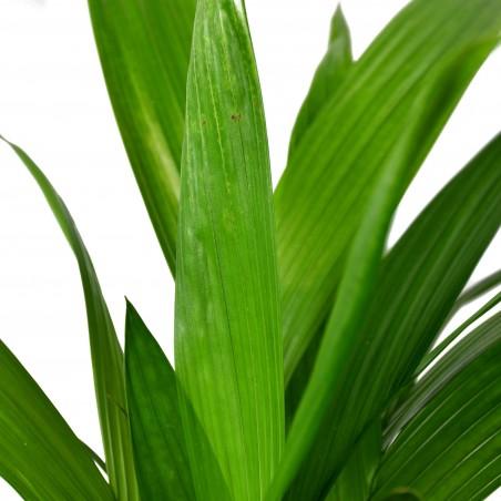 Areca Palm £19.99