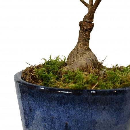 Ficus Ginseng £44.99