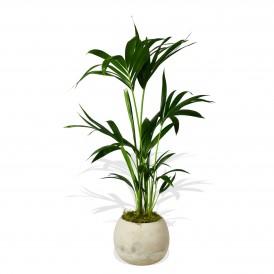 Kentia Palm £29.99