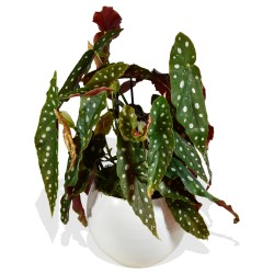 Polka Dot Begonia £35.99