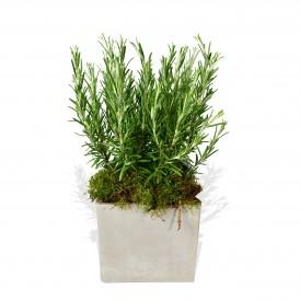 Rosemary £22.99