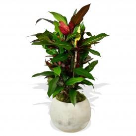 Garden Croton 'Mammi' £28.99